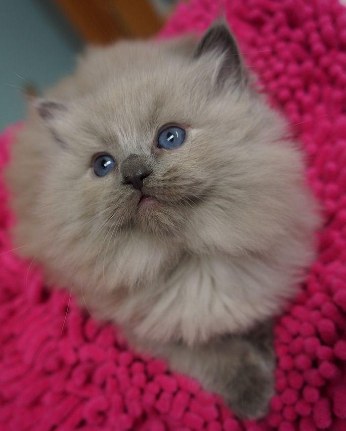 Mink Sepia Radoll Kittens For Sale Persian Kittens Kittens Ragdoll Kittens For Sale