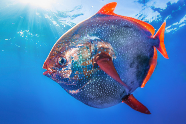 Meet the First Warmblooded Fish Discover Magazine in