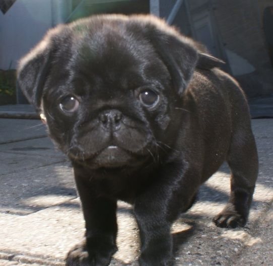 Black littel puppy