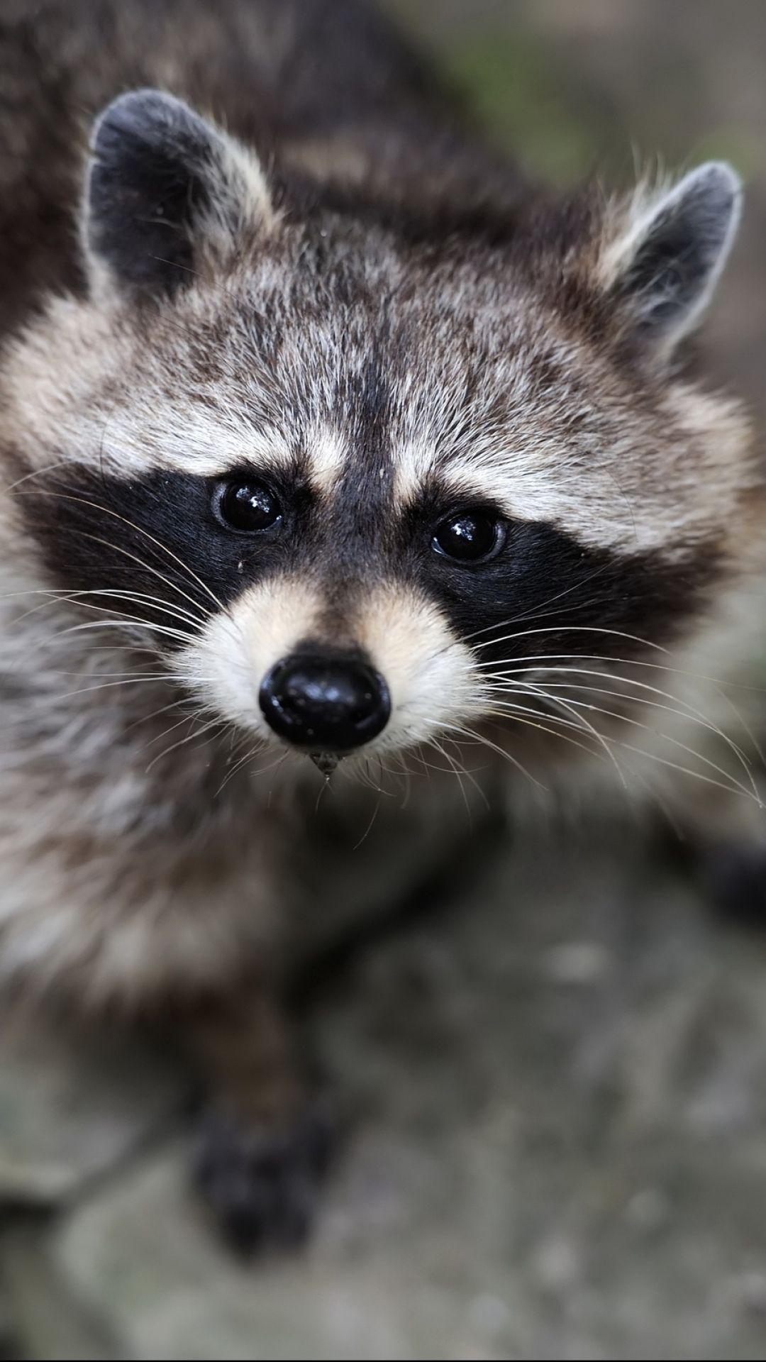 Iphone 6 Plus Animal Raccoon Wallpaper Id 392014 Rare Animals Animals Pet Birds