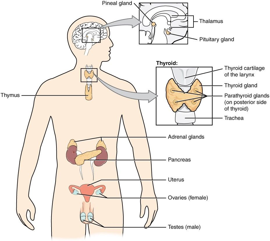 This Diagram Shows The Endocrine Glands And Cells That Are Located Throughout The Body The Endocrine System Endocrine System Nervous System Diagram Endocrine