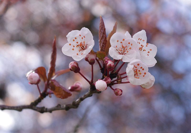 Cherry Blossoms In Vancouver Cherry Blossom Branch Most Beautiful Flowers Beautiful Flowers