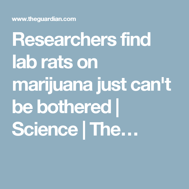 Researchers find lab rats on marijuana just can't be bothered | Science | The…
