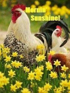 75 Funny Good Morning Memes To Kickstart Your Day Chickens Backyard Chickens Farm Animals