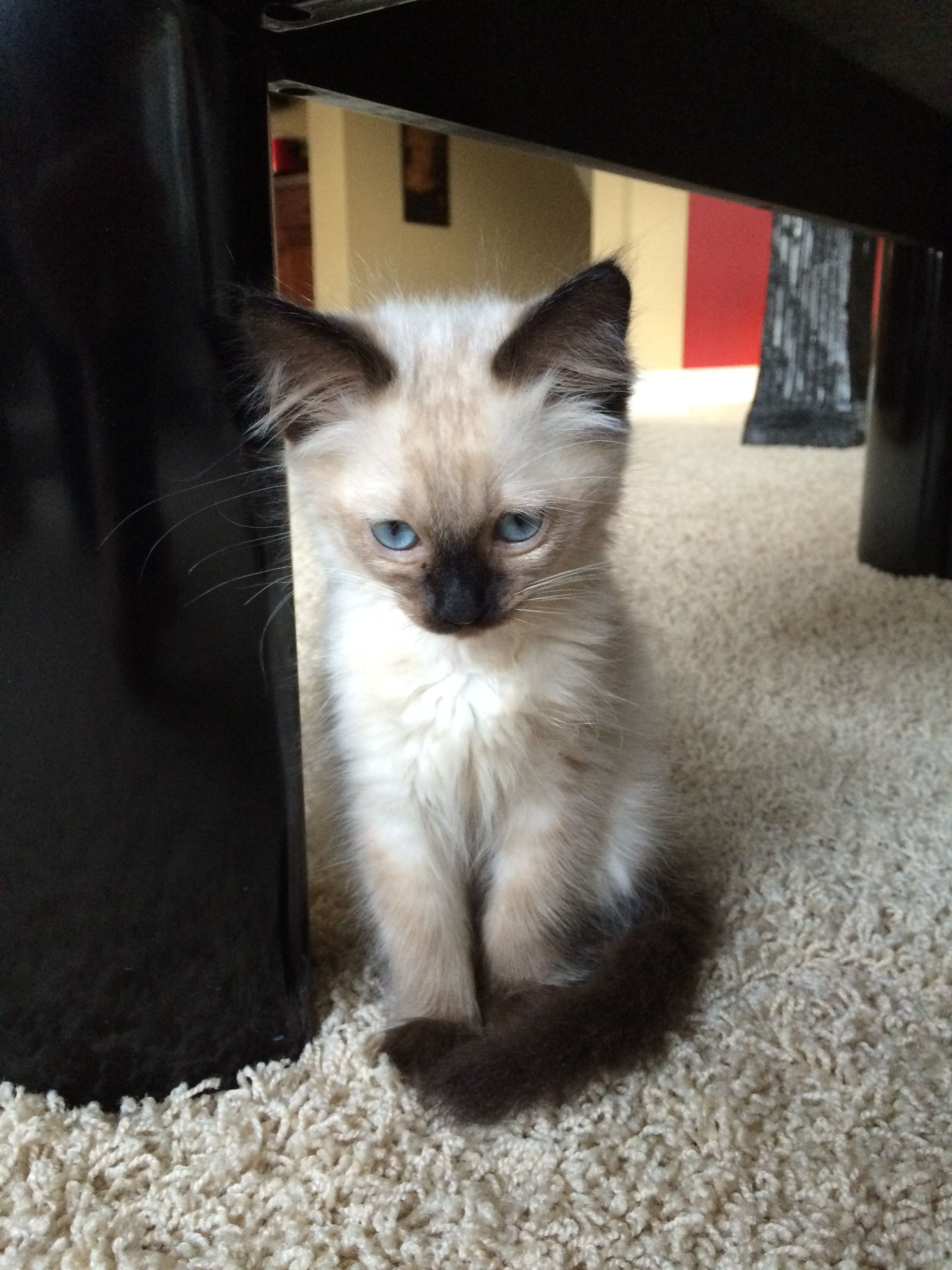 Our Little Phoebe A Seal Point Balinese Kitten Siamese Kittens Siamese Cats Balinese Cat