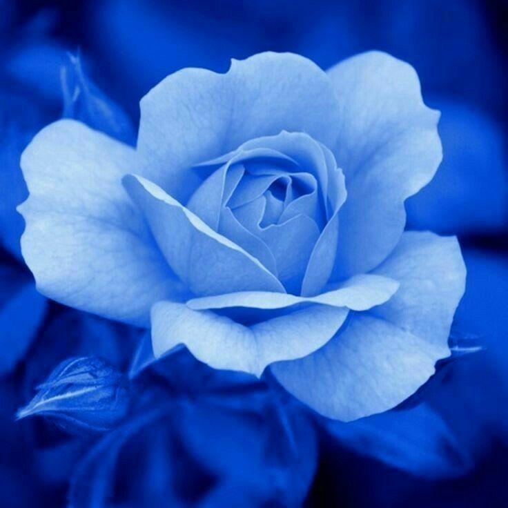 so beautiful beautiful flowers flower blue roses