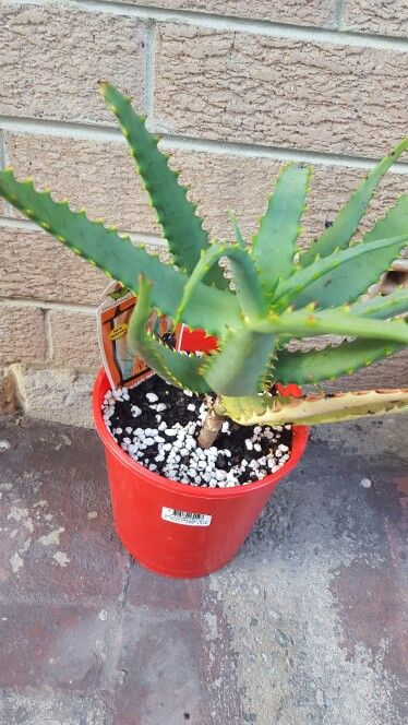 A. \'Eager Beaver\' from Garden Express on 7.12.15   Aloes   Pinterest ...