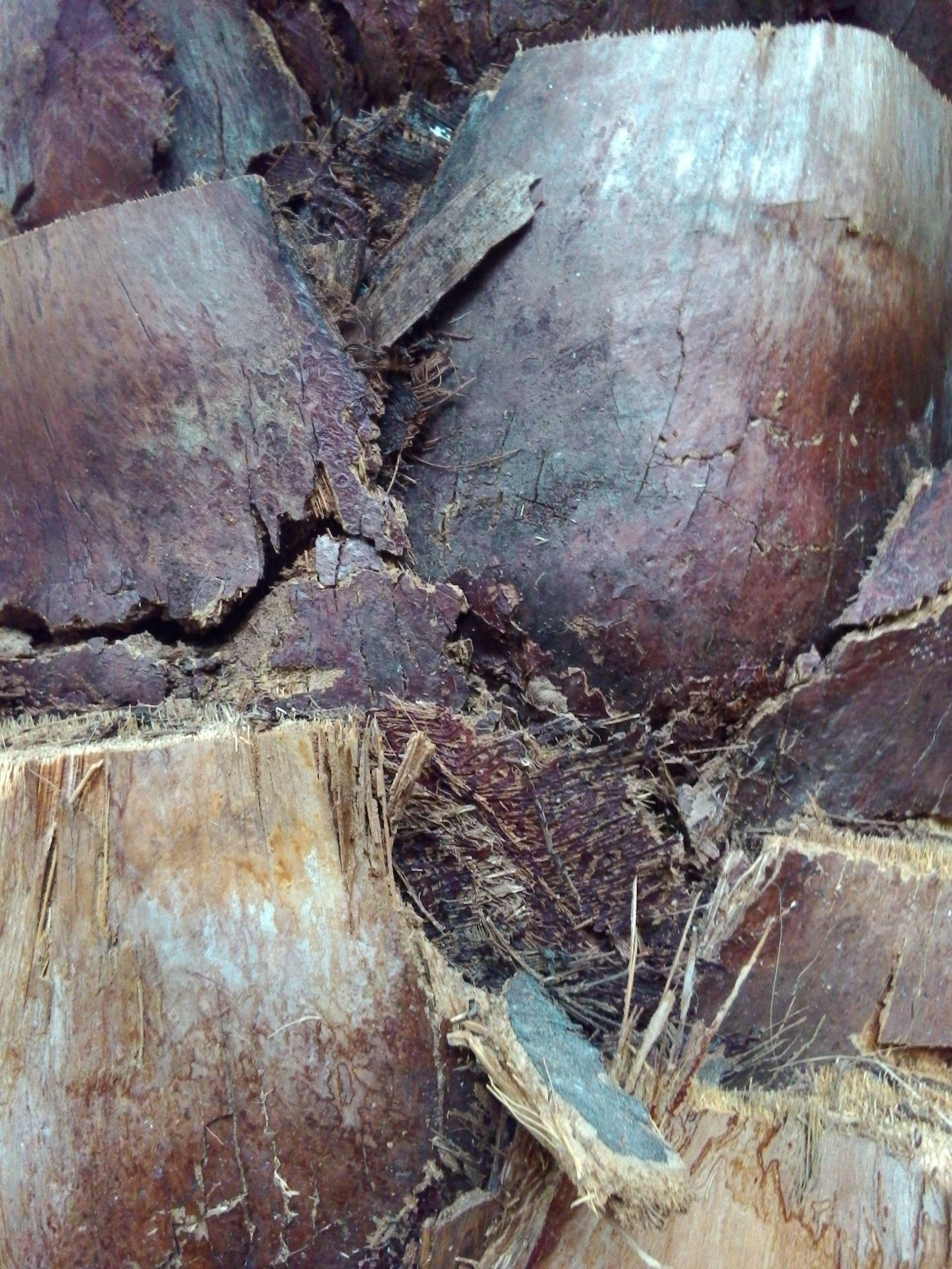 """Tronco sin cepillar y """"cascabots"""" de Palmera de Elche (Phoenix dactylifera)."""