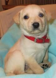 Adopt Latte Adoption Pending On Mini Puppies Labrador Retriever Dog Labrador Retriever