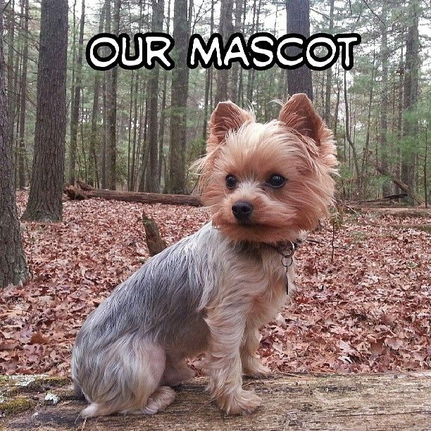 This is our mascot Reef! He loves the #coconutoil we add to his food and the Celtic Sea Salt we add to his water!   #happy #healthy #coconut #dog #organic #lifestyle #cute #pet #yorkie #terrier #wow