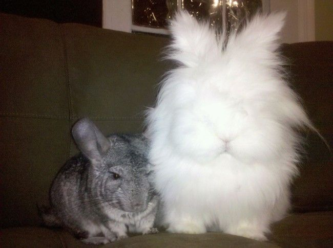 Fluffy bunny and his chinchilla friend sit together quietly - December 27, 2013