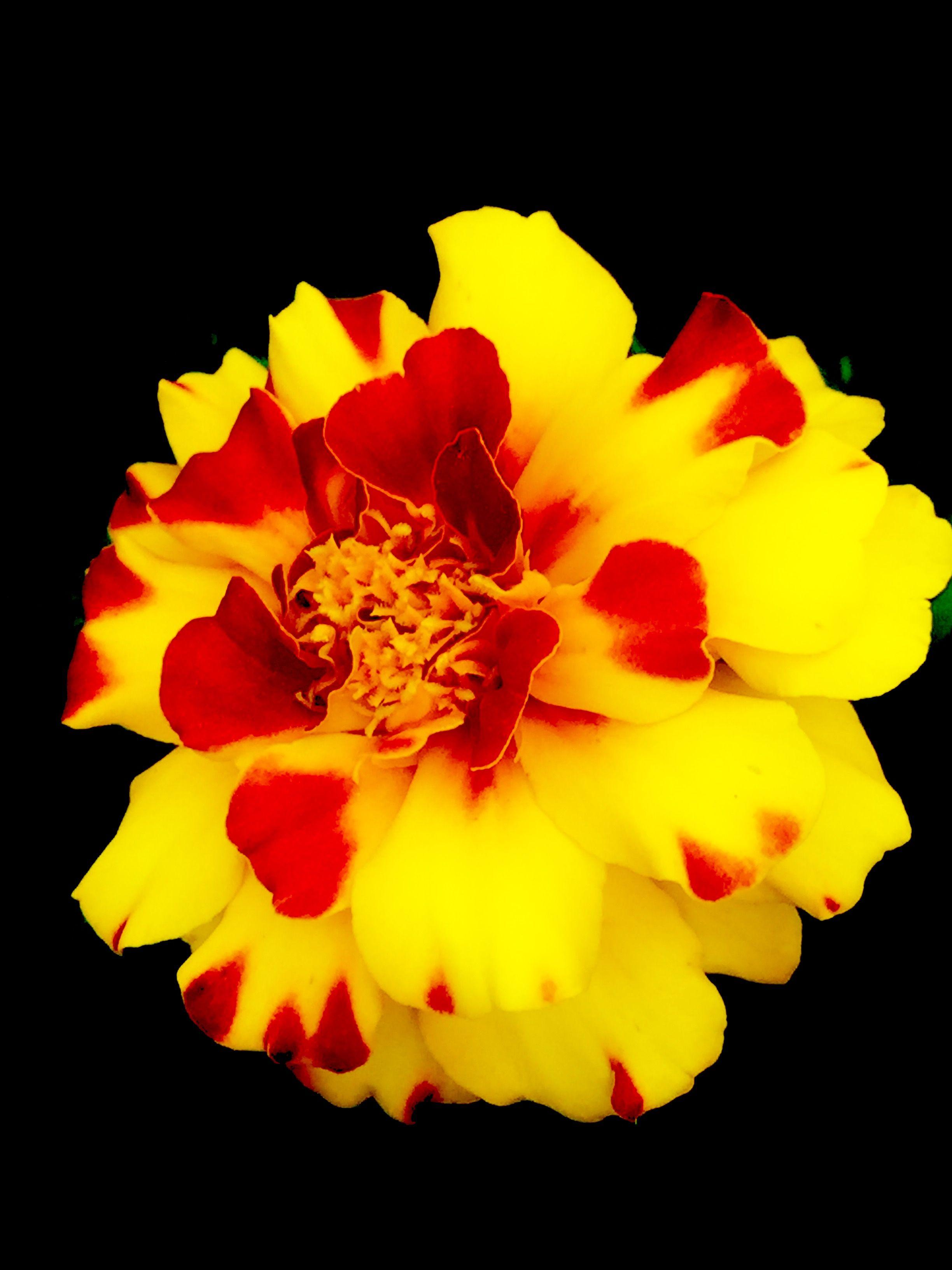 Fiori Gialli Yellow Flowers.Yellow Flowers Tagete Fiori Gialli Flower Fiore Giallo