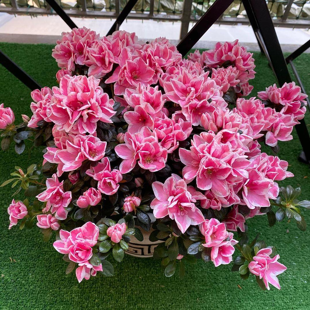 """""""Always look on the pink side of life"""" #pink #pinkflowers #pinkmood #pinkazalea #azalea #azaleadellaricerca #azalearosa #instaflowers #flowerstagram #azaleaflower #azalealove #pinkvibes #flowerslovers #flowers_mania__ #balconyplants #balcony #outdoor #balconyflowers #thinkpink #pinksideoflife #picoftheday #pic #shoot #flowerphotography #homesweethome"""