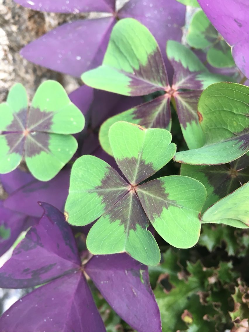 Ground Cover Oxalis Clover Triangularis Purple Shamrock And
