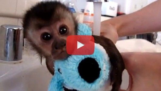 It S Time For 2 Week Old Capuchin Monkey To Take Her First Bath