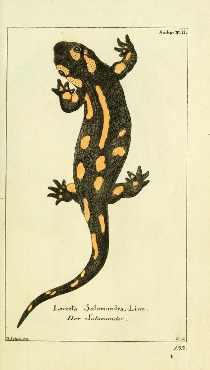 Feuersalamander, Gemeinnüzzige Naturgeschichte des Tierreichs (1783 ...