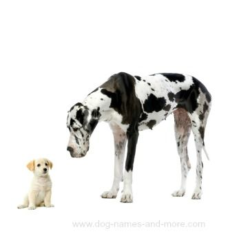 Great Dane Names Unique Ideas For Males And Females Large Dog