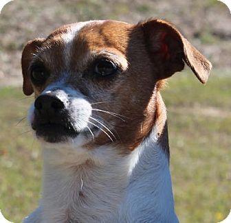 Prattville, AL Jack Russell Terrier/Pug Mix. Meet Midget