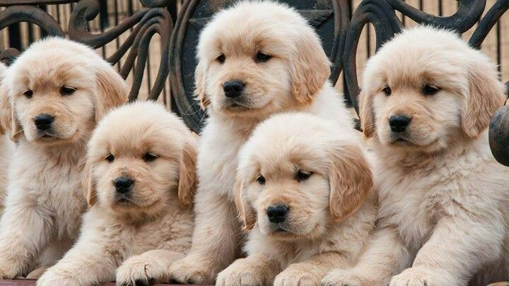 Pin By Darby Mackay On Let Go Retriever Puppy Cute Dogs Puppies