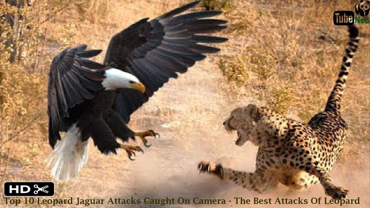 Top 10 Leopard Jaguar Attacks Caught On Camera - The Best Leopard Attack