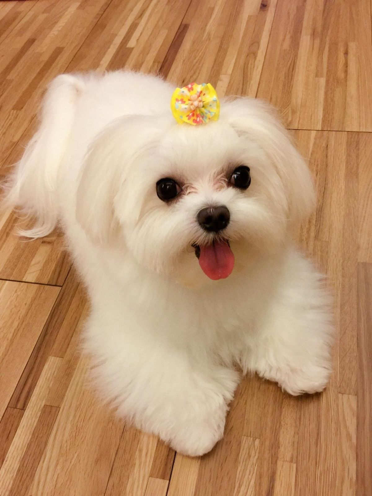 Pin by Tanu_mehra on Dogs loverz Cute puppies, Maltese