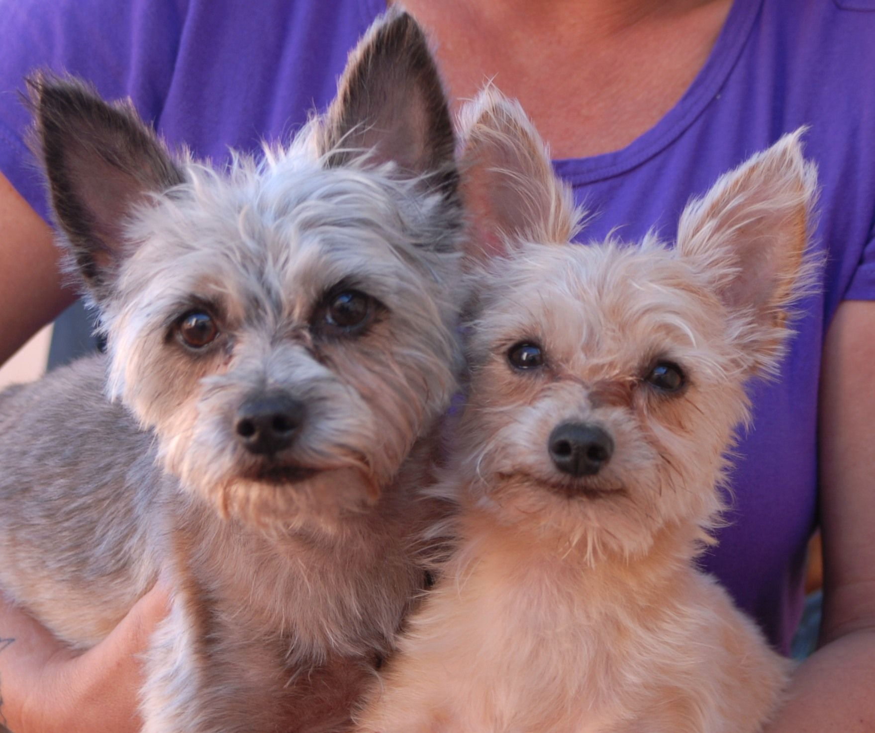 Neil & Diamond, devoted brothers, Yorkshire Terrier mixes