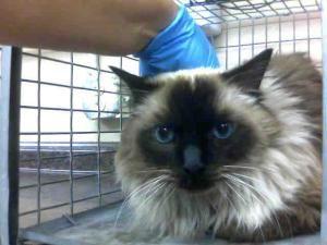 Luke Is An Adoptable Ragdoll Cat In Las Vegas Nv Pet