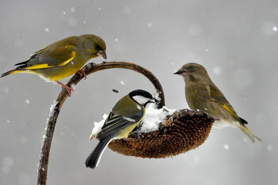 Zöldikék és egy széncinege a hóesésben | Széncinege