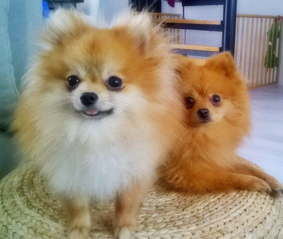 Me My Bff Brownie Super Cute Puppies Pomeranian Puppies