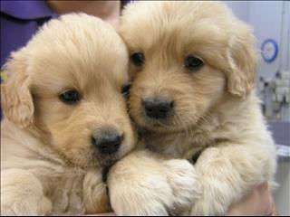 Cute Golden Pair Con Immagini Cuccioli