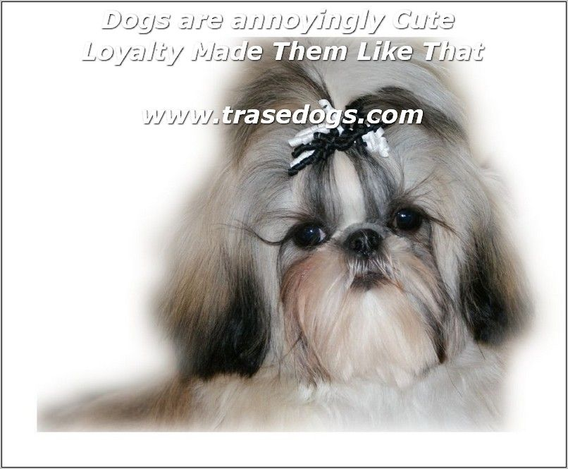 Description Com Click Image To Read More Details In 2020 Shih Tzu Shih Tzu Puppy Shih Tzu Dog