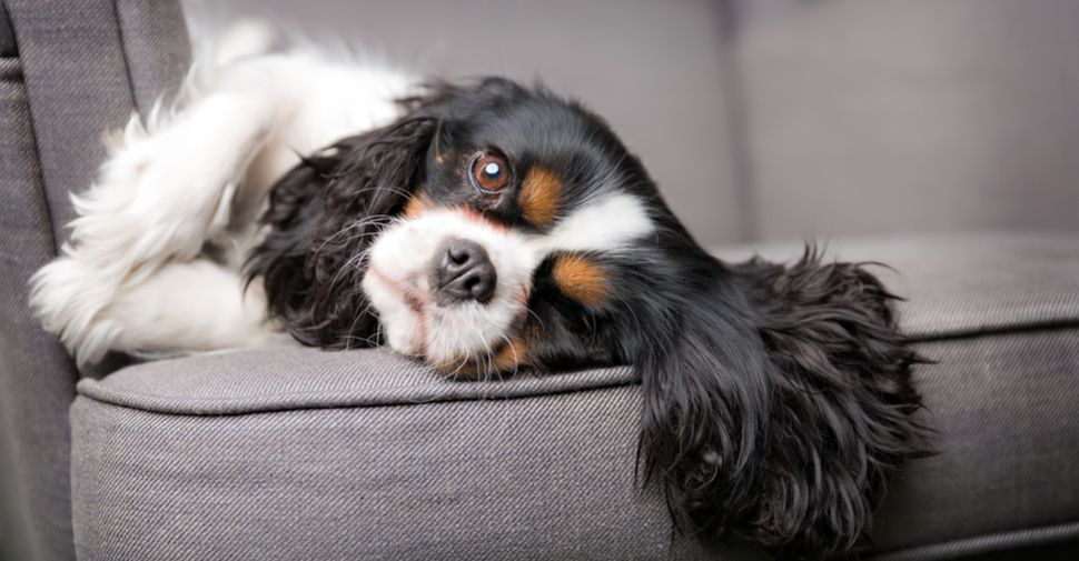 Who S Who Of The Small Dog Breeds Cavalier King Charles Dog Dog