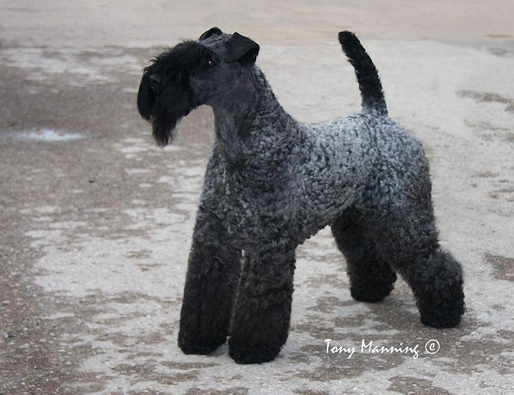 Int Ch Class Act Terrier Terrier Dogs Terrier Breeds
