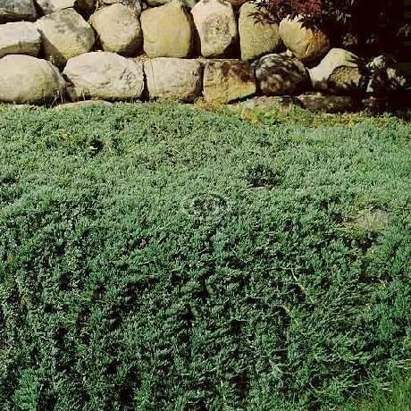Juniperus H Wiltonii 25 Pots 3 1 2 In Backyard