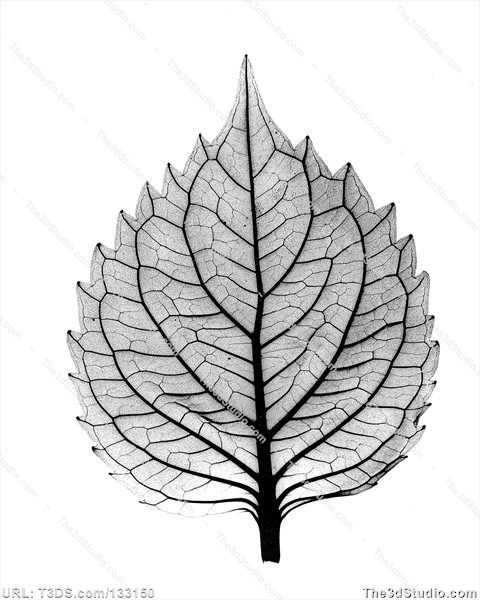 Positive BW X-ray of leaf of coleus plant Stock Photo Stock Image Clipart Vector