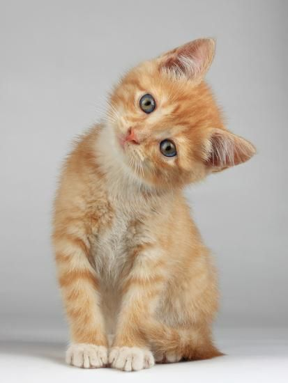 Cute Little Kitten Photographic Print by Lana Langlois