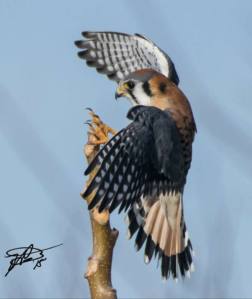 Dan Fiore To Bif Birds In Flight Kestrel Falcon Long Island N Y American Kestrel Beautiful Birds Birds