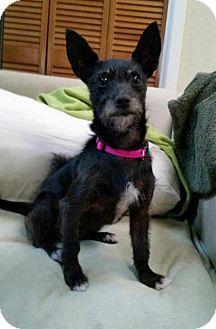 Rockaway Nj Standard Schnauzer Meet Miss Lotti Texas A Dog For Adoption Http Www Adoptapet Com Pet 13314971 Rockaway New Jersey Standa Standard Schnauzer