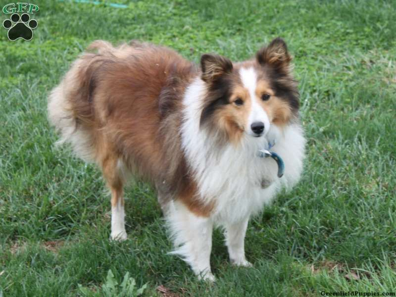 Shetland Sheepdog Puppies For Sale In Pa Sheep Dog Puppy