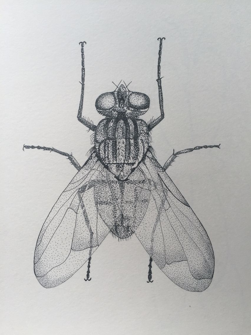 House Fly Staedtler Fineliner Blackandwhite Housefly Nature Illustration Drawing Dots Monochrome Fly Drawing Insect Art Jellyfish Drawing