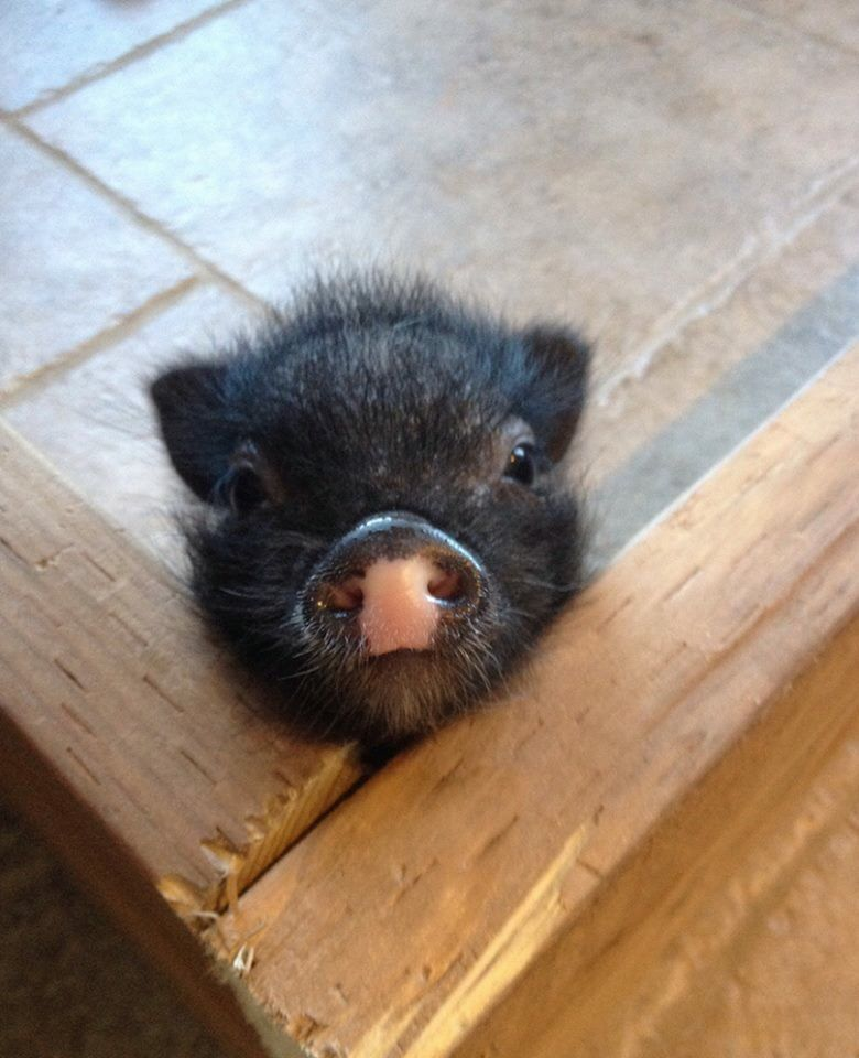 Pin by Gail on Pig Cute piglets, Cute baby animals, Cute