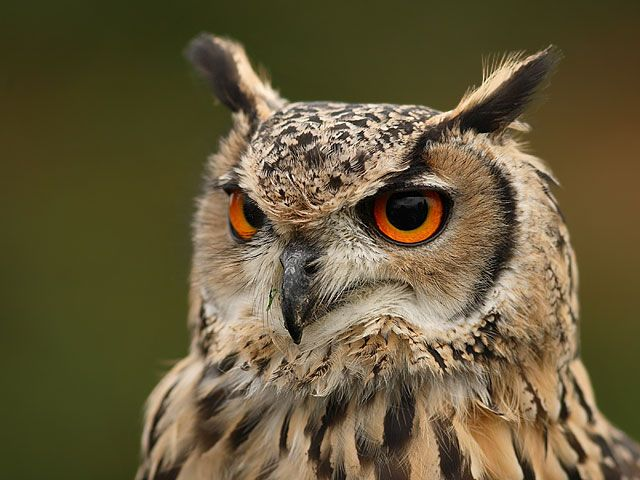 Eagle owl, mighty creature represents wisdom and stupidity at the same time, how interesting