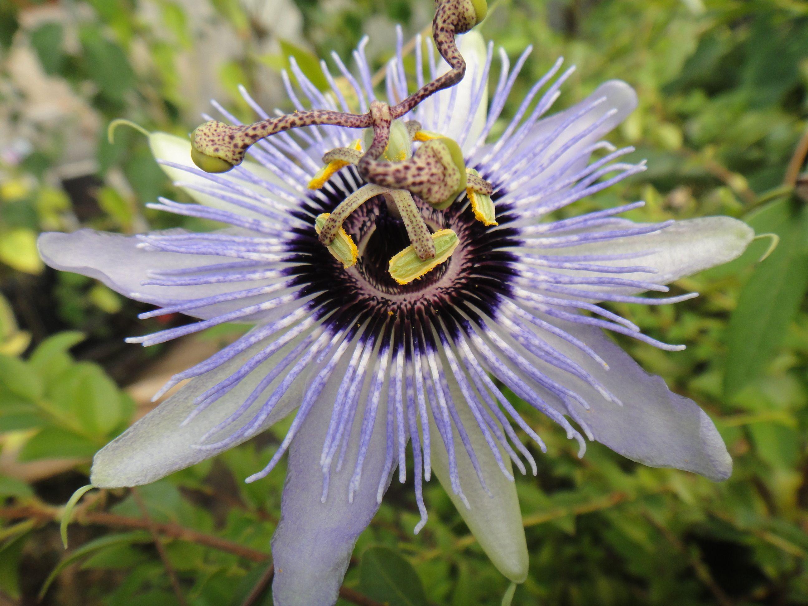 Passiflora Blue Bouquet 4 Pot Blue Bouquet Passion Flower Passiflora