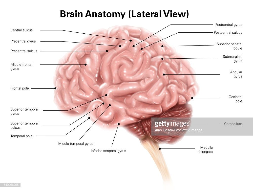Stock Illustration Human Brain Anatomy Lateral View Human Brain Anatomy Brain Anatomy Human Brain