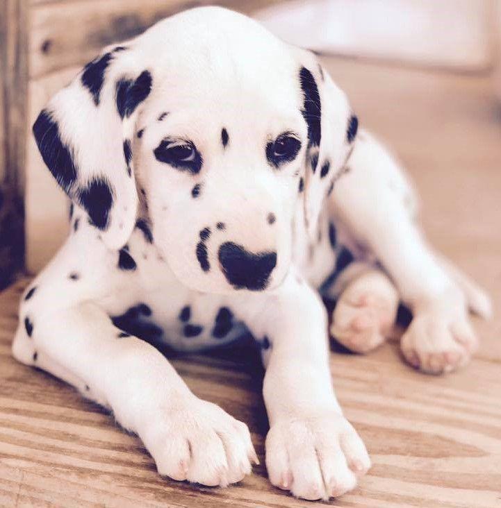 Dalmatian Puppies For Sale Nevada USA
