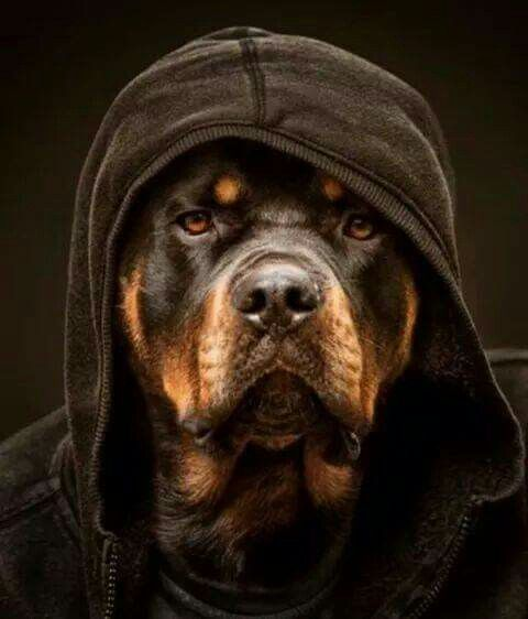 Rottie in hoodie