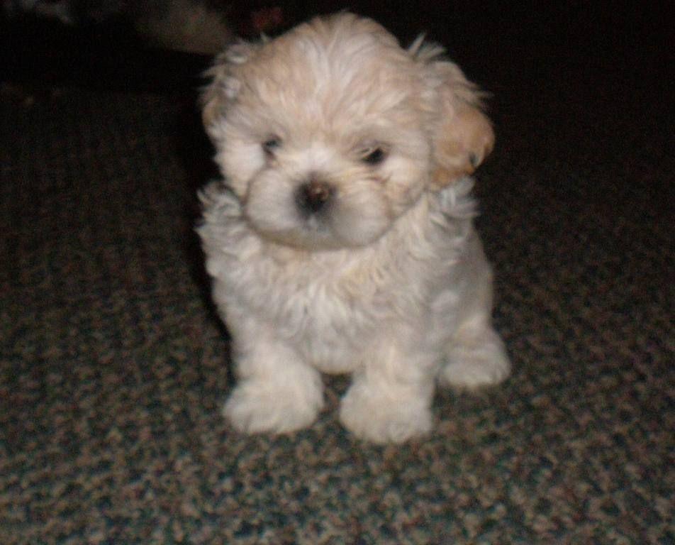 I Want A Zuchon Teddy Bear Puppy Like This Really Bad Teddy