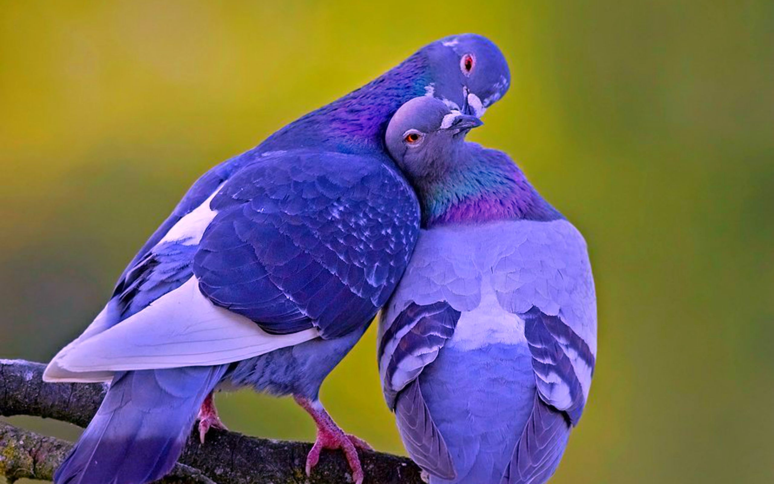 Pigeons know love, and in fact take on mates for life. They keep 'homes', and live a very similar life to people. They ju… | Animals beautiful, Animals, Pet birds