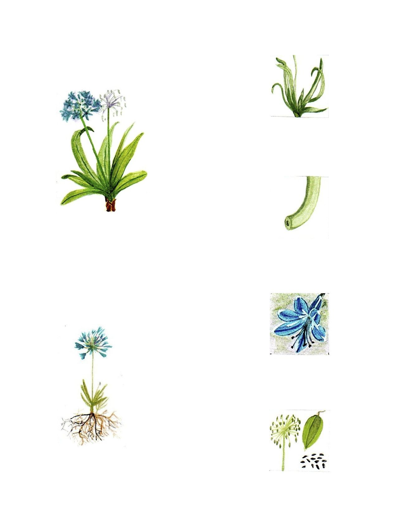 Agapanthus africanus.  Plants Collection 4.  Ink and Watercolor on paper drawing. By Diego A.