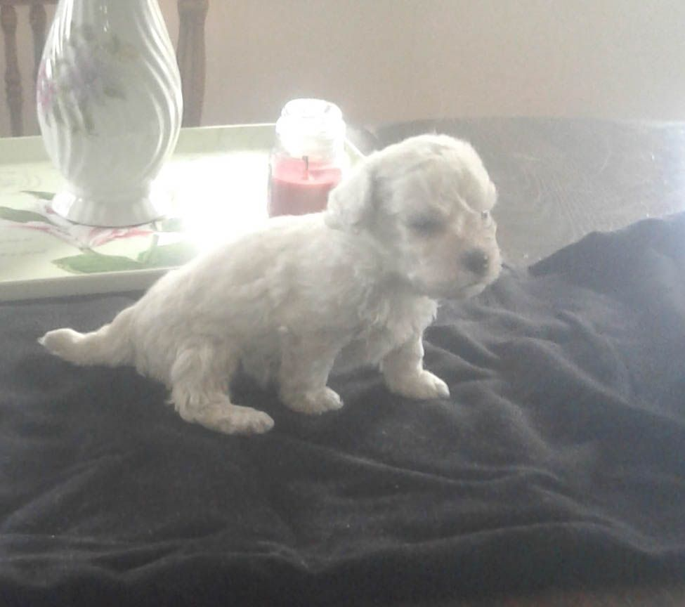 Kyrie Akc Bichon Frise Male Doggie For Sale At Edon Ohio Bichon Frise Puppy Finder Cheap Puppies
